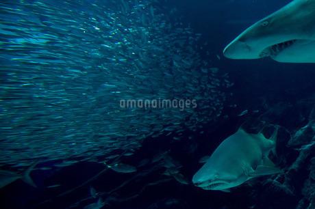 獲物を狙うサメの写真素材 [FYI02974595]