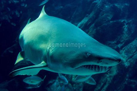 獲物を狙うサメの写真素材 [FYI02974596]