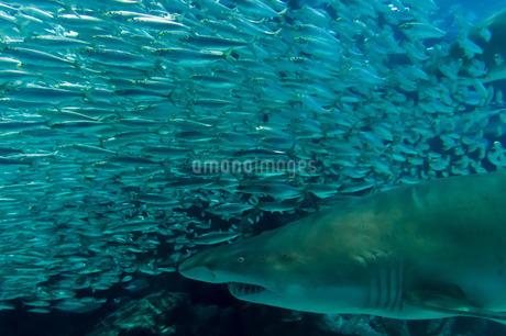 獲物を狙うサメの写真素材 [FYI02974597]