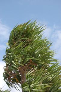 風に吹かれたアダンの葉の写真素材 [FYI02974602]