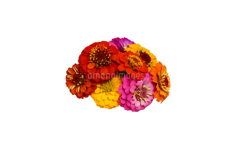 ジニアの花束の写真素材 [FYI02974645]