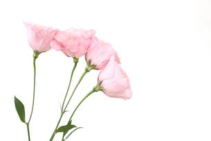 トルコキキョウの花束の写真素材 [FYI02974649]