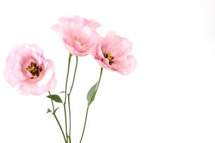 トルコキキョウの花束の写真素材 [FYI02974653]