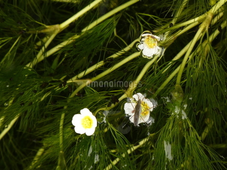 醒ヶ井地蔵川の梅花藻と白い花3の写真素材 [FYI02974988]