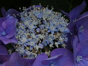 夏の花びら(あじさい)の写真素材 [FYI02974991]
