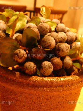 ブドウ科の観葉植物1の写真素材 [FYI02975036]