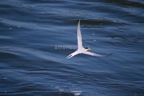 水面に近い所を飛ぶコアジサシの写真素材 [FYI02975051]