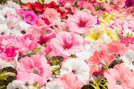 カラフルな花の写真素材 [FYI02975097]