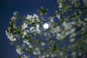 夜桜と月の写真素材 [FYI02975114]