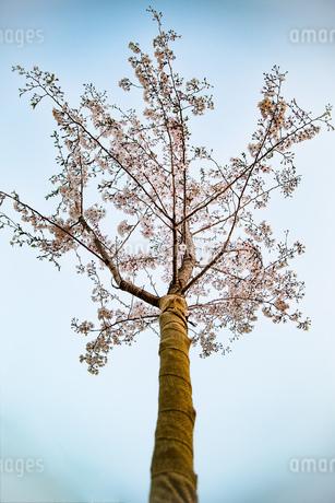 桜の写真素材 [FYI02975126]