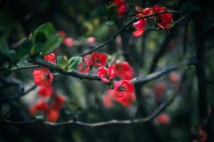 赤い花の写真素材 [FYI02975128]