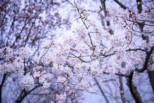 桜の写真素材 [FYI02975130]