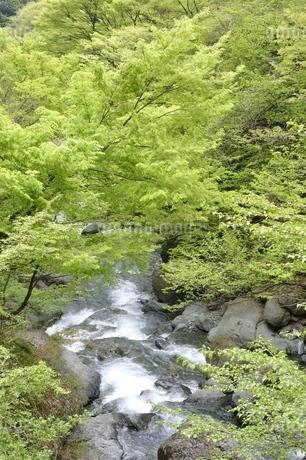 早戸川 新緑の頃の写真素材 [FYI02975136]