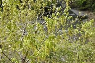コナラ 雄花の写真素材 [FYI02975143]