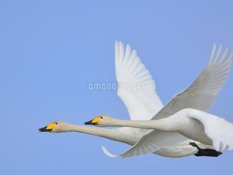 白鳥の写真素材 [FYI02975184]