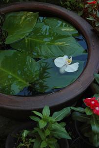 水を張った鉢に浮かぶランの花の写真素材 [FYI02975193]