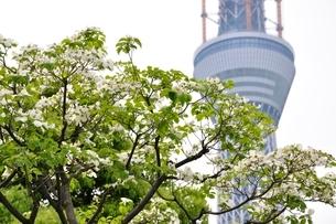 東京スカイツリーとハナミズキの写真素材 [FYI02975471]