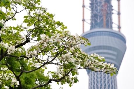 東京スカイツリーとハナミズキの写真素材 [FYI02975473]