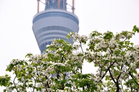 東京スカイツリーとハナミズキの写真素材 [FYI02975474]