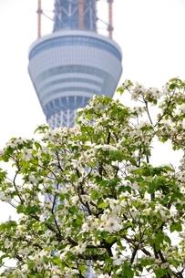 東京スカイツリーとハナミズキの写真素材 [FYI02975475]