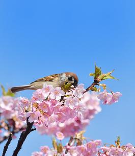 河津桜の雀の写真素材 [FYI02975490]