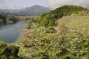 ドウダンツツジ咲く湖畔の写真素材 [FYI02975638]