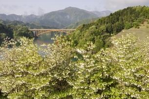 ドウダンツツジ咲く湖畔の写真素材 [FYI02975640]