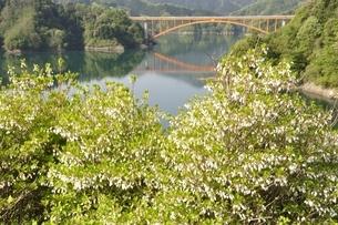 ドウダンツツジ咲く湖畔の写真素材 [FYI02975646]