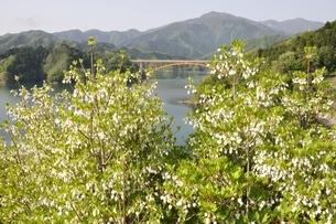 ドウダンツツジ咲く湖畔の写真素材 [FYI02975648]