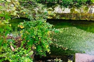 醒井の梅花藻の写真素材 [FYI02975703]