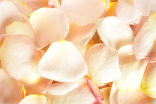 一面のバラの花びらの写真素材 [FYI02975795]