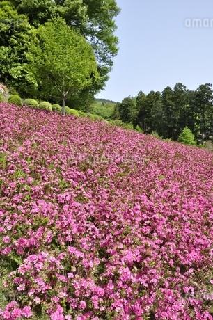 ツツジ咲く公園の写真素材 [FYI02975819]