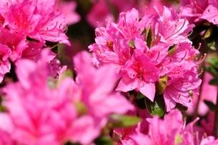 ピンクのツツジの写真素材 [FYI02975821]