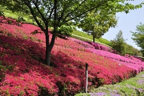 ツツジ咲く公園の写真素材 [FYI02975826]