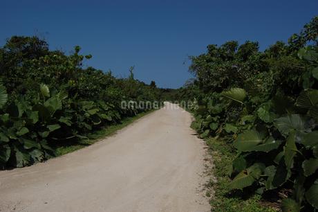 両側が緑の未舗装の白い一本道の写真素材 [FYI02975962]