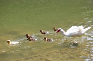 アヒルが親鳥とヒナと一緒に泳ぐの写真素材 [FYI02975982]