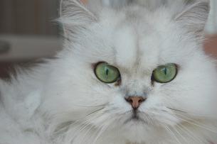 こちらを見つめる白い大きな猫の写真素材 [FYI02975984]