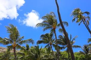 ハワイ オアフ島の青空とヤシの木の写真素材 [FYI02975996]