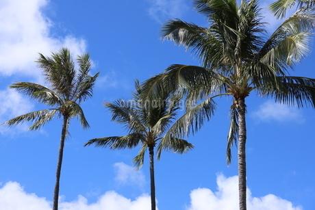 ハワイ オアフ島の青空とヤシの木の写真素材 [FYI02976001]