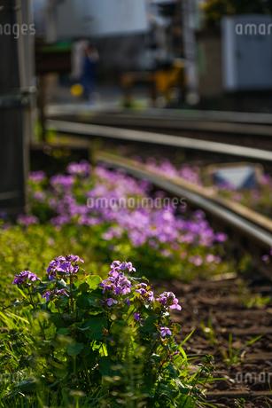都電荒川線の線路と花4の写真素材 [FYI02976129]
