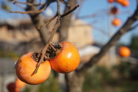 柿の写真素材 [FYI02976197]
