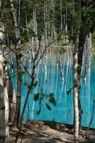 夏の青い池 美瑛町の写真素材 [FYI02976203]
