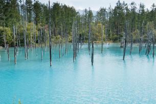 夏の青い池 美瑛町の写真素材 [FYI02976204]