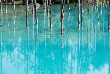 夏の青い池 美瑛町の写真素材 [FYI02976206]