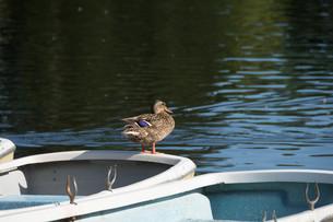 ボートの上で羽を休めるカモの写真素材 [FYI02976217]