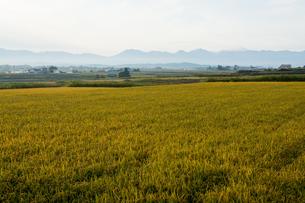 黄金色に染まる朝の水田の写真素材 [FYI02976219]