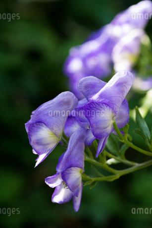 紫色のトリカブトの写真素材 [FYI02976224]