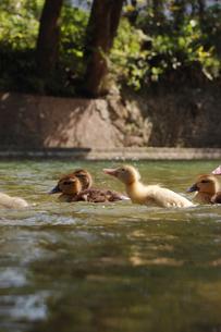 アヒルのヒナ達が泳ぎ進むの写真素材 [FYI02976328]