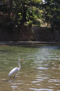 池を散歩するシラサギの写真素材 [FYI02976329]