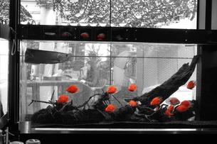 赤い熱帯魚の写真素材 [FYI02976331]